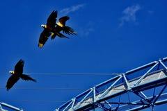 Un groupe de perroquets ocolourful en vol images stock
