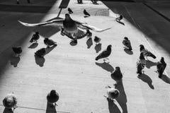 Un groupe de pigeons de rue avec un en vol Photographie stock libre de droits