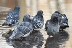 Un groupe de pigeons se baignant Photos libres de droits