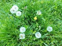 Un groupe de pissenlits blancs et jaunes de ressort parmi l'herbe humide verte Photos stock