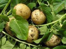 Un groupe de pommes de terre de primeurs fraîches Photo stock