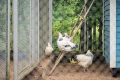Un groupe de poulets et de coqs légers du Sussex Images stock