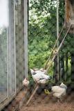 Un groupe de poulets et de coqs légers du Sussex Image libre de droits