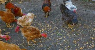 Un groupe de poulets gratuits de gamme mangeant le grain et de maïs banque de vidéos