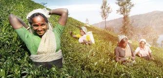 Un groupe de récolteuses heureuses de thé moissonnant le concept photographie stock libre de droits