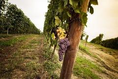 Un groupe de raisin rouge avant la récolte Image libre de droits
