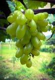 Un groupe de raisins Photos libres de droits