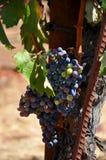 Un groupe de raisins Photo libre de droits