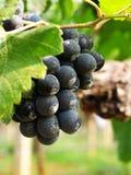 Un groupe de raisins Photographie stock libre de droits