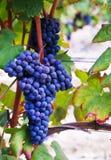 Un groupe de raisins Image libre de droits