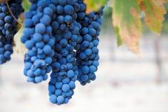 Un groupe de raisins de cuve à une vigne images stock