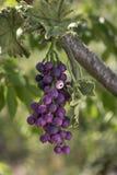 Un groupe de raisins faits main de laine felted Images libres de droits