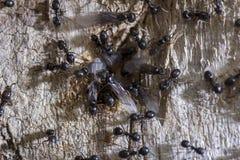 Un groupe de rampements noirs de fourmi le long d'un tronc d'arbre images libres de droits