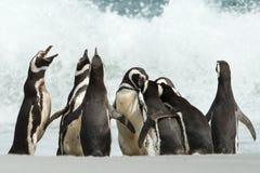 Un groupe de rassemblement de pingouin de Magellanic sur une côte d'isla des Malouines Photo libre de droits