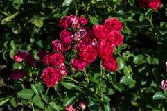 Un groupe de roses rouges se ferment vers le haut de la photographie Image libre de droits