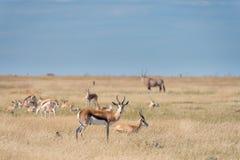 Un groupe de springboks Photographie stock libre de droits