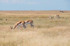 Un groupe de springboks Photos libres de droits