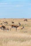 Un groupe de springboks Images stock