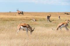 Un groupe de springboks Image libre de droits