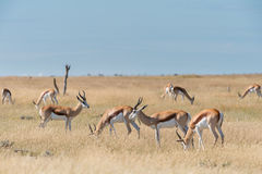 Un groupe de springboks Photo libre de droits