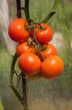 Un groupe de tomates Image libre de droits