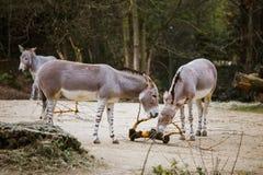 Un groupe de trois personnes qu'un âne gris sauvage avec les rayures blanches mange au zoo images stock
