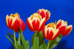 Un groupe de tulipes Images stock