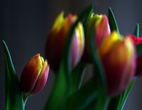 Un groupe de tulipes oranges et jaunes avec les p?tales ferm?s images libres de droits