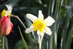 Un groupe de tulipes rouges en parc Matin dans la ros?e, paysage de ressort plan rapproch?, tache floue photo libre de droits