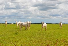 Un groupe de vaches Photographie stock