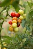 Un groupe de variété mûrie par vigne de maison rouge, jaune, verte se développent photographie stock libre de droits