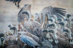 Un groupe de vautours à dos blanc sur une carcasse photos libres de droits