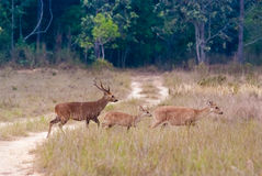 Un groupe des cerfs communs d'Eld Photo libre de droits