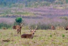 Un groupe des cerfs communs d'Eld Photographie stock