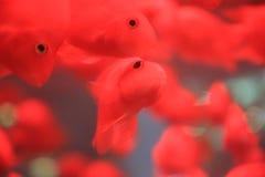 Un groupe du poisson rouge Photographie stock libre de droits
