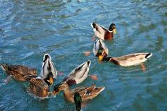 un groupe gentil de consommation occupée de canards images stock