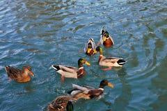 un groupe gentil de consommation occupée de canards photos stock