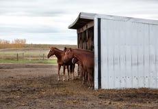 Un groupe ou une équipe de chevaux Images stock