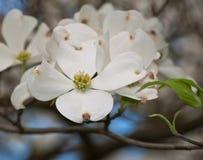 Un groupement des fleurs blanches de cornouiller Images stock