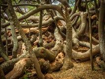 Un groviglio degli alberi da una barriera storica Immagini Stock