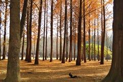 Un grupo de árbol de pino en Nami Island Imagen de archivo