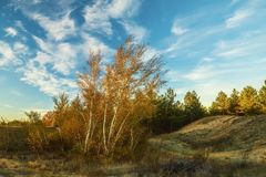Un grupo de árboles de abedul amarillo Fotografía de archivo
