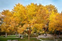 Un grupo de árboles con las hojas amarillas hermosas de la caída Imagenes de archivo