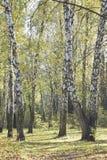 Un grupo de árboles de abedul blanco con follaje amarillo por la mañana Fotos de archivo