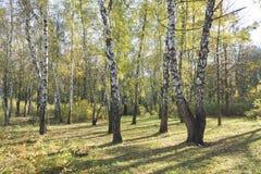 Un grupo de árboles de abedul blanco con follaje amarillo por la mañana Fotografía de archivo