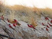 Un grupo de Abeja-comedores meridionales del carmín fotografió en los bancos del río Zambezi en nido en Namibia Imagen de archivo libre de regalías