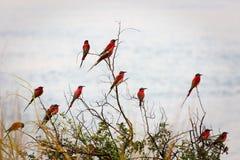 Un grupo de Abeja-comedores meridionales del carmín fotografió en los bancos del río Zambezi en nido en Namibia Fotos de archivo libres de regalías