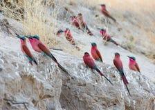 Un grupo de Abeja-comedores meridionales del carmín fotografió en los bancos del río Zambezi en nido en Namibia Fotografía de archivo