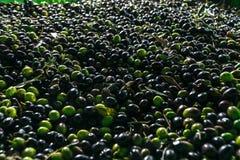 Un grupo de aceitunas maduras listas para ser procesado en el aceite imagen de archivo