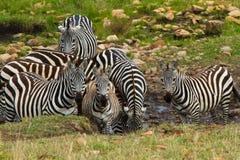 Un grupo de agua potable de las cebras Imagenes de archivo